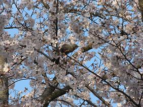 10%山鳥と桜IMG_4896.JPG