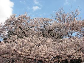 10%桜満開IMG_4887.JPG