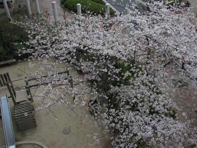 20%近所の桜.JPG